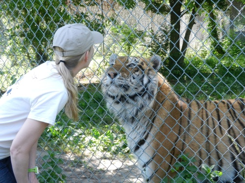 A volunteer greets a tiger